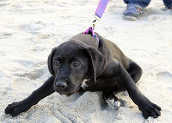 puppy on a leash at the beach