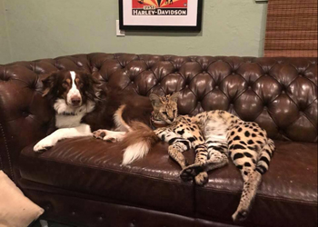 rocky the serval on the sofa with a dog