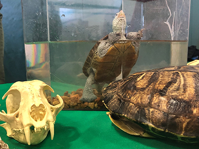 Diamondback terrapin at Exhibit Hall